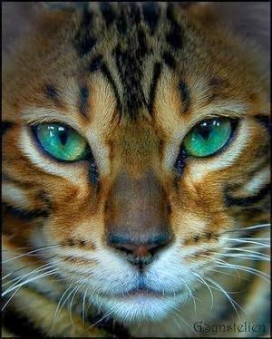 The Bengal cat dates only from the early 1960s, when a breeder crossed a domestic feline with an Asian leopard cat. The breed is named for this wild Asian cat, whose scientific name is Prionailurus bengalensis.