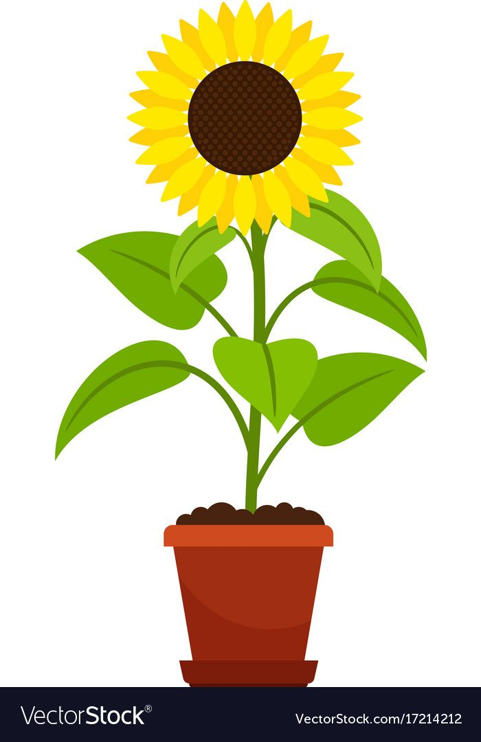 Sunflower Plant In Flower Pot Royalty Free Vector Image Planting Sunflowers Flower Pots Sunflower