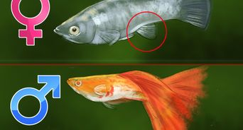How To Keep And Breed Fancy Guppies With Pictures Guppy Fish Guppy Pet Fish