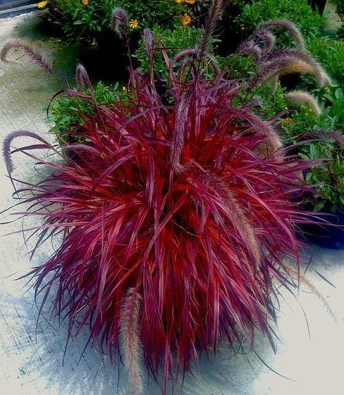 "Pennisetum grass Rubrum wow! ""Fireworks"" Looks like something from a Dr Suess book! Pennisetum Rubrum is my favorite grass, I wish it was a perennial around here, I'll have to remember to get some for around he house this year."