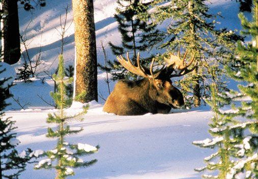 A Moose enjoying the deep snow in the Rockies!