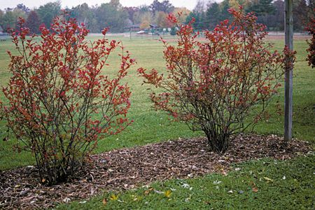 Q: Can we prune our tall blueberry bushes down, or is there another way to protect them from birds?