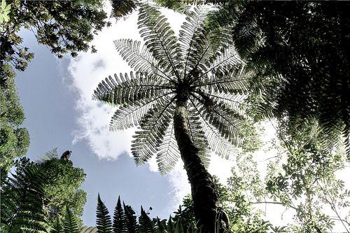 Tree Fern, Mangatautari, Waikato Nouvelle-Zélande