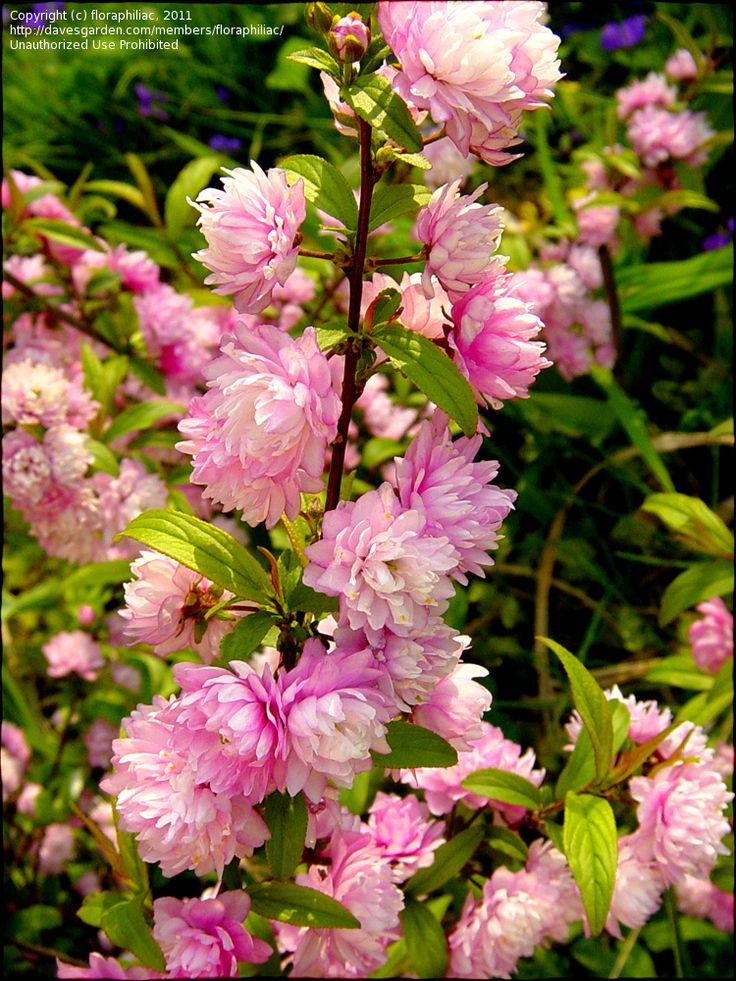 25 best ideas about dwarf flowering trees on pinterest for Dwarf ornamental trees for zone 4