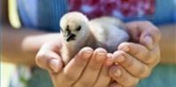 How to Identify Baby Chicks | eHow.com