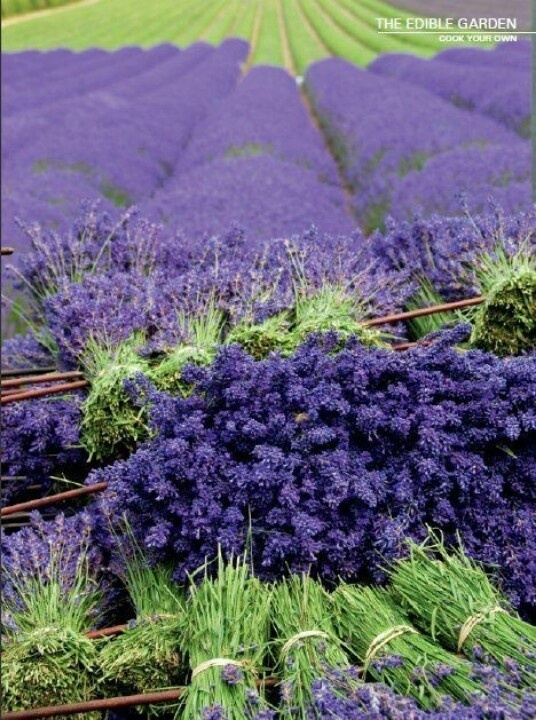 [ Visual Inspiration: Lavender bushels ] This only clicks through to a larger image, please enjoy in pinterest.