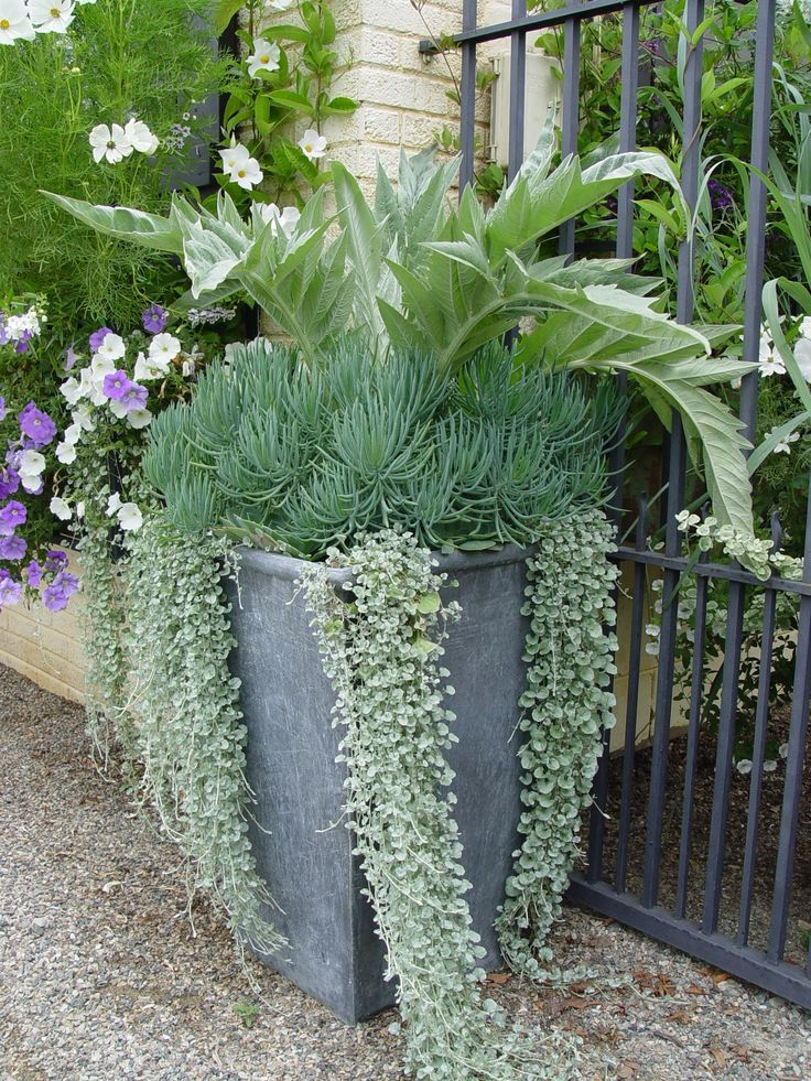 Cardoon Senecio And Dichondra Silver Falls Container