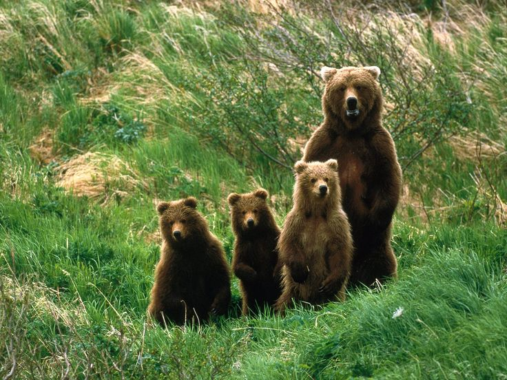 Name:Ready For A Family Photo Bear And Bear Cubs Pictures.Jpg   ,animals wallpapers,best,photos,pictures,wallpapers,stock,images