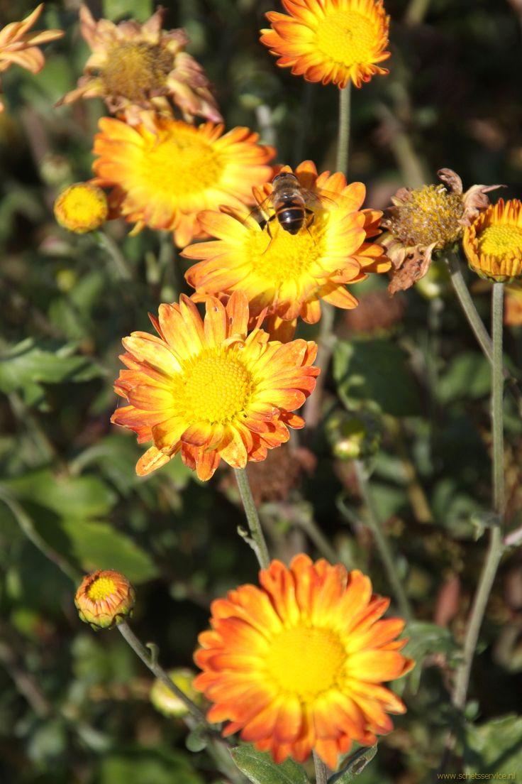 """Wat een beauty! Chrysanthemum 'Dernier Soleil': """"de laatste zon"""". Fraaie zeldzame Chrysant met een bloei in de periode juli-oktober. Hooget 70-80 cm. Beschrijving: www.schetsservice.nl . Foto gemaakt op Kwekerij de Hessenhof."""