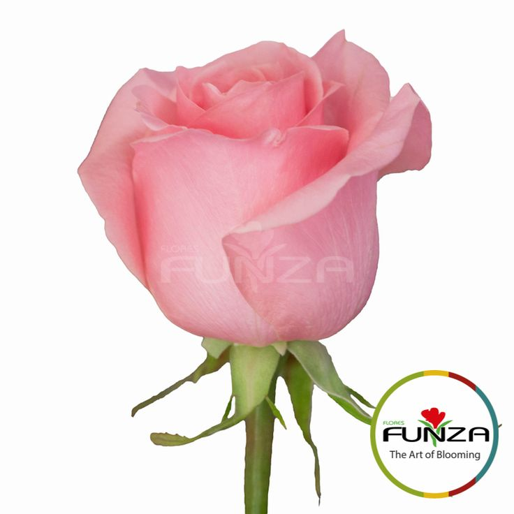 Pink Rose from Flores Funza. Variety: Sweet Dolomiti, Availability: Year-round