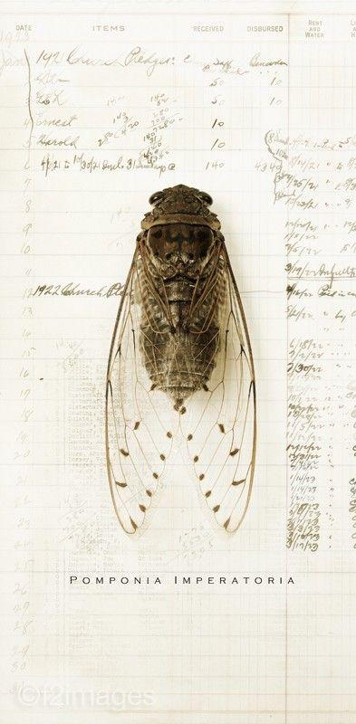 5x10 Cicada