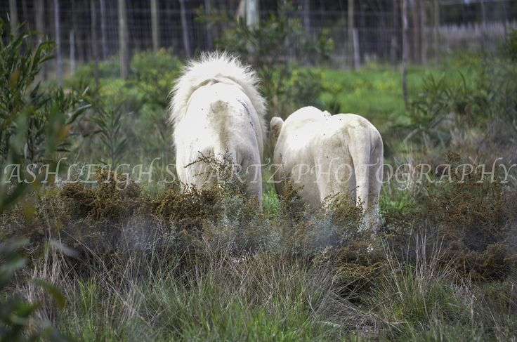 White lions in Cape Town