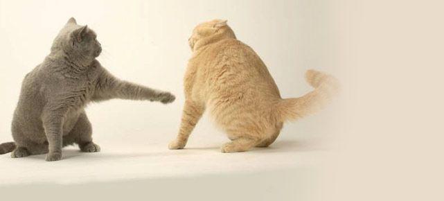 Wenn Sie zwei oder mehrere Katzen aneinander gewöhnen möchten, ist viel Geduld gefragt. Oftmals kommt es zu Revierkämpfen und sonstigen Reibereien. Hier finden
