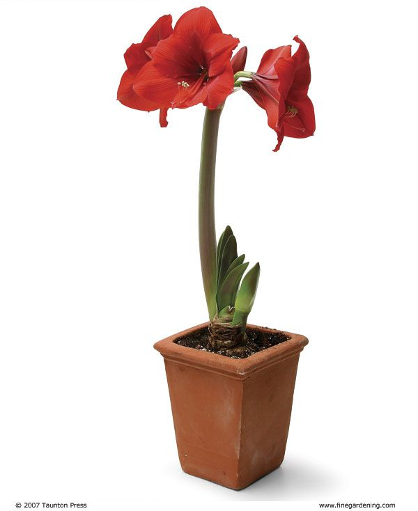 Amaryllis / Ridderstjerne  (Hippeastrum x hortorum) hører til i Narsissfamilien / Amaryllidaceae
