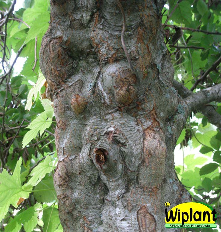 Alnus incana f. 'Glaberrima', knölal. Stammen täckt med små knölar. Höjd: 3-5 m.