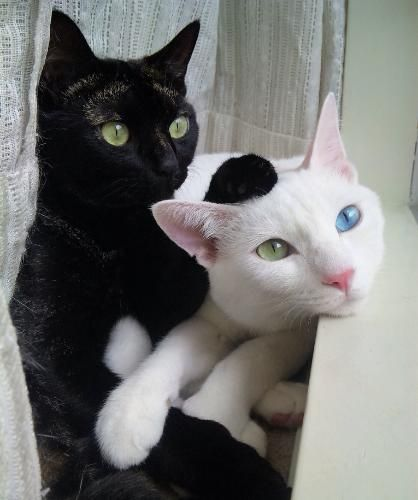 purrty kittehs: Cat Eye, Eye Colors, Black And White, Black White, Blue Eye, Green Eye, Black Cat, White Cat, Animal