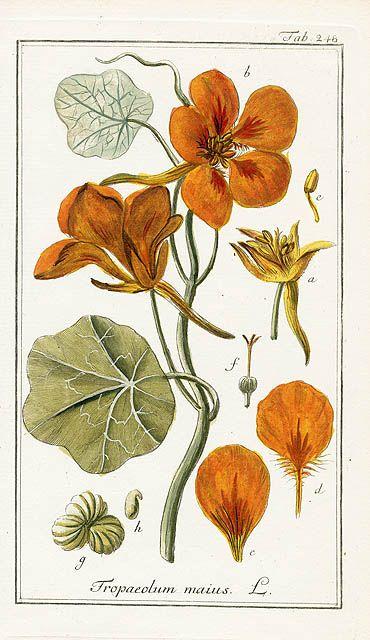 Tropaeolum majus - Johannes Zorn, Icones Plantarum Medicinalium 1779
