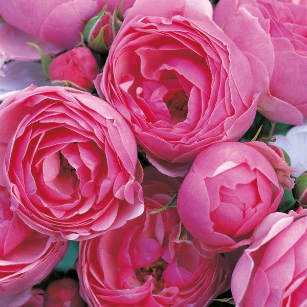 127 best rosen images on pinterest plants rose varieties and colors. Black Bedroom Furniture Sets. Home Design Ideas