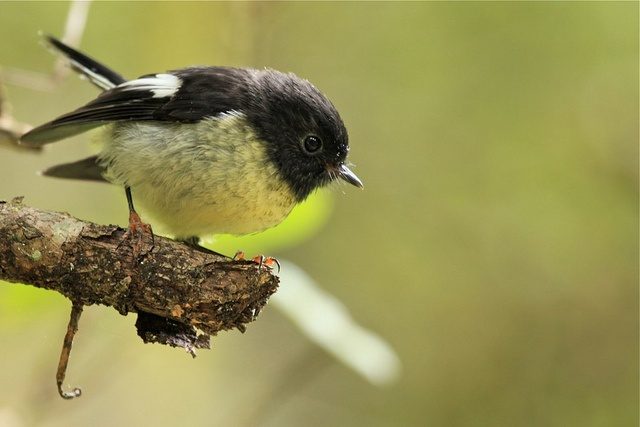 Tomtit at Dolamore Park by dakinane ...Dolamore Park is looking like the place for me!
