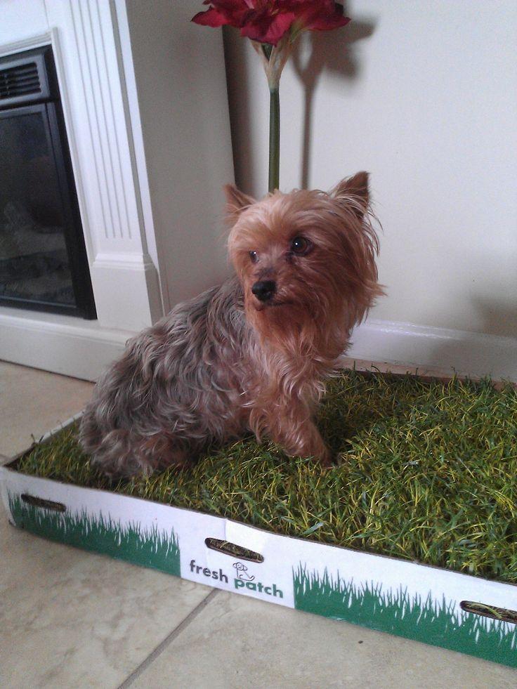 bc5ac1c70bd3de2ff0f48dca25cbf54c indoor potty for dogs dog training tips