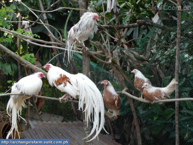 chickens: Yokohamas