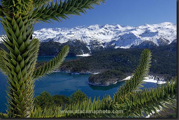 photo: Araucaria at lake Conguillio, Chile