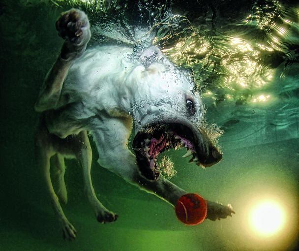 Dieses Bild erinnert an wilde Urzeittiere. Fast wie ein Hai stürtzt sich der Hund mit weit aufgerissenem Maul und reihenweise spitzen Zähnen auf seine Beute - in diesem Fall nur ein roter Tennisball.