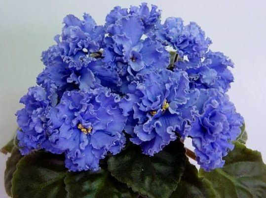 ☘ RUFFLED SKIES ☘ African Violet Plant Saintpaulia ☘ Young Starter Plug ☘