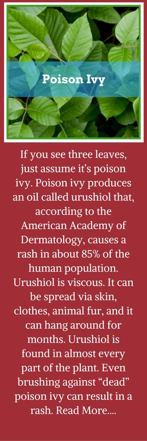 """If you see three leaves, just assume it's poison ivy.     Poison ivy produces an oil called urushiol that, according to the American Academy of Dermatology, causes a rash in about 85% of the human population. Urushiol is viscous. It can be spread via skin, clothes, animal fur, and it can hang around for months. Urushiol is found in almost every part of the plant. Even brushing against """"dead"""" poison ivy can result in a rash. Read more at…"""