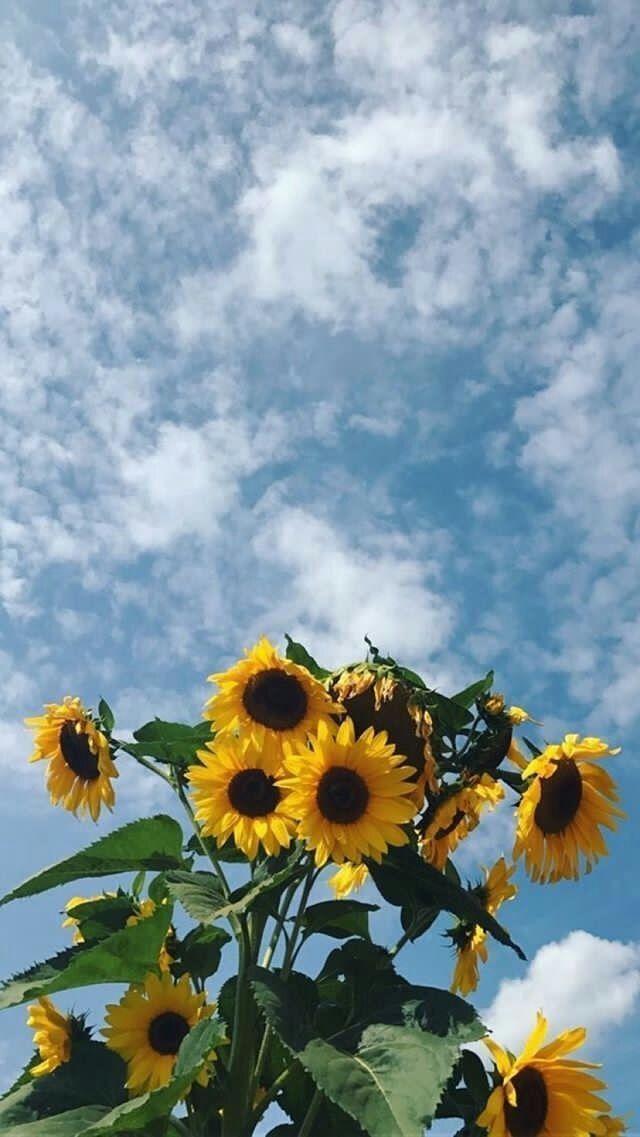 Lockscreen Sunflower Sunflower Wallpaper Aesthetic Backgrounds Tumblr Wallpaper