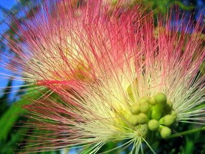 Mimosa tree blossoms