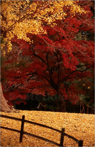 Autumn trees, Kyoto Gosho, Japan