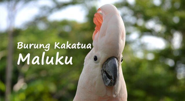 Lirik Lagu Burung Kakatua - Maluku