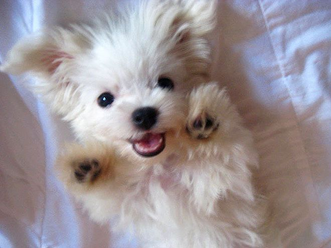 Soooo sweet! <3Doggie, Face, Cute Puppies, Little Puppies, Plays, Adorable, Animals 3, Angels, Fluffy Puppies