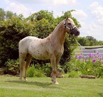 pony of the americas equine pinterest pony breeds. Black Bedroom Furniture Sets. Home Design Ideas