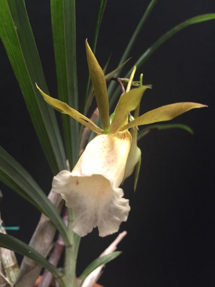 Orquídea Galeandra baueri
