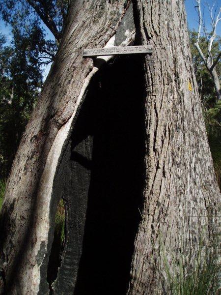 Yarragil Hilton Tree