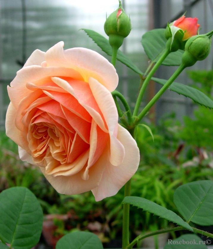 1020 best images about david austin roses on pinterest. Black Bedroom Furniture Sets. Home Design Ideas