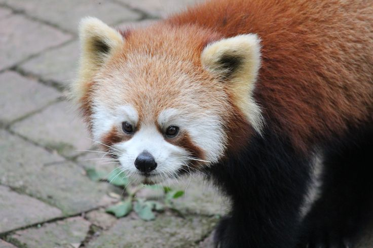 The Chengdu Research Base of Giant Panda Breeding: the Red Pandas live in the trees of the Base for much of their time and can be hard to see. So the best time to view them here is at feeding time, when they come down to party!