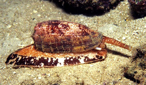Conus geographus, a type of cone snail, is a dangerous creature. Found in tropical and subtropical seas, these snails hide under the sand in coral reefs with their siphon sticking out.