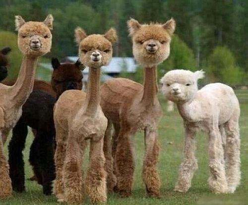 El término #babyalpaca hace referencia al primer esquilado de la #alpaca que se hace con 3 años #modasostenible  #modaetica