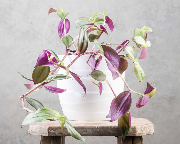 Tradescantia Purpurea - this plant cascades over the edge of pots and will happily trail down over a metre.