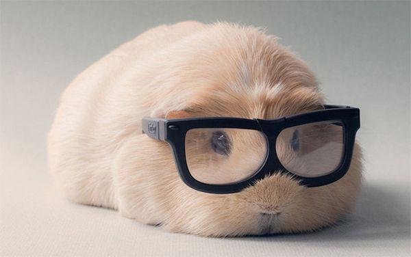 Top 15 des photos de Booboo, le cochon d'Inde le plus hipster de l'internet