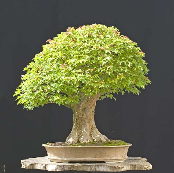 40 year old Trident maple bonsai