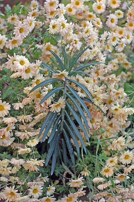 chrysanthemum and a native euphorbia