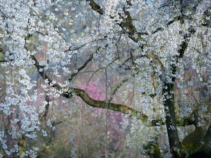 Imperial Blossoms  Foto deYukio Miki.  Kioto, Japón. Cerezo Japonés Llorón.