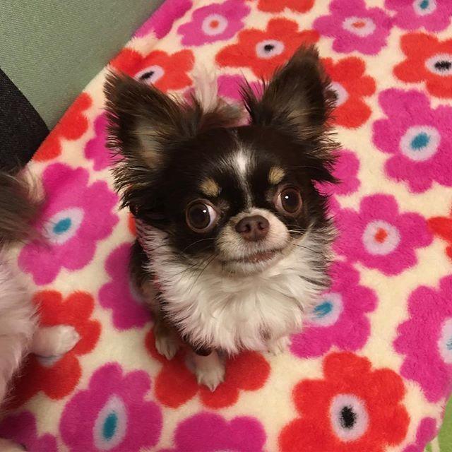 モカちゃん、3歳のお誕生日おめでとう♡ 出会って早3年目。時間が経つの早すぎ!もっとゆっくり成長してほしい😭 変わり者で構ってちゃんのくせに名前呼ぶと逃げていくモカちゃん😊落ち着きなくてずっーと走り回ってる元気なモカちゃん😊いたずらで手のかかるモカちゃん😊これからも仲良くして元気に長生きしてね♡大好き❤😘 #犬 #dog #チワワ #ロングコートチワワ #Chihuahua #longcoatchihuahua  #わんこ#愛犬 #チョコタン #姉妹犬 #いんすたどっぐ #マヌケな顔 #インスタモカ #モカ #ペロペロ星人 #かわいい #誕生日 #3歳 #生まれて来てくれてありがとう #うちに来てくれてありがとう #時間経つの早い #もっとゆっくり成長して #これからも仲良くしようね #元気に長生きしてね #ハッピーバースデー #おめでとう