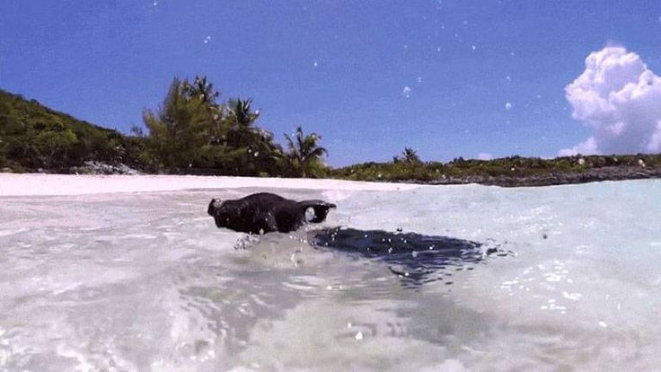 Tourists Kill Bahamas' Swimming Pigs Because We Can't Have Anything Nice http://ift.tt/2mLuNjN #TimBeta