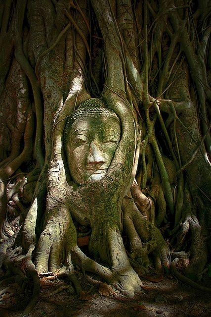 Buddha Head at Wat Mahathat, Ayutthaya, Thailand Loved and Pinned by www.downdogboutiq... to our Yoga community boards