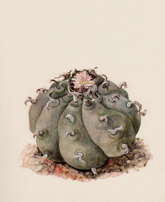 Botanical Print Peyote Cactus Art Print by plaindealing on Etsy